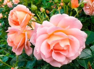 Роза «Гейша»: описание сорта, фото и отзывы