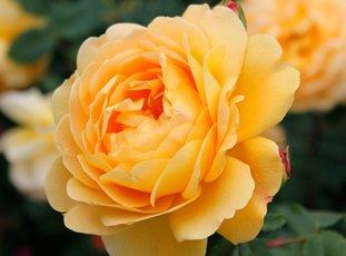 Роза «Голден Селебрейшн»: описание сорта, фото и отзывы