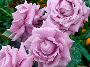 Роза «Голубой Нил»: описание сорта, фото и отзывы