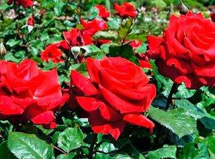Роза «Гранд Аморе»: описание сорта, фото и отзывы