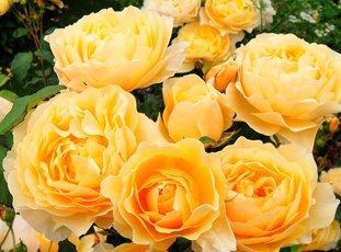 Роза «Грэхам Томас»: описание сорта, фото и отзывы