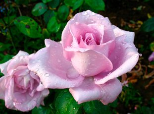 Плетистая роза «Индиголетта»