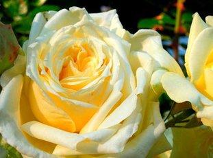 Плетистая роза «Эльф»: описание сорта, фото и отзыв