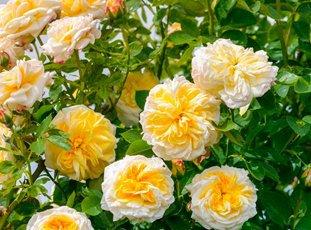 Плетистая роза «Казино»: описание сорта, фото и отзывы