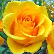 Роза «Керио»: описание сорта, фото и отзывы