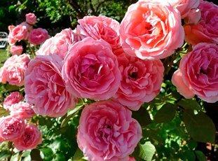 Роза «Кимоно»: описание, фото и отзывы