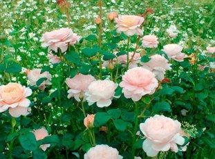 Роза «Королева Швеции»: описание сорта, фото и отзывы