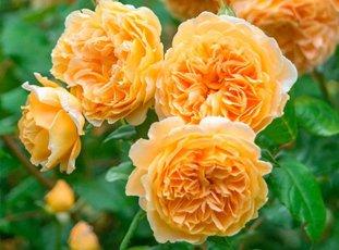 Роза «Кроун Принцесса Маргарет»: описание сорта, фото и отзывы