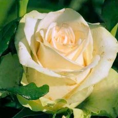 Роза «Ла Перла»: описание сорта, фото и отзывы
