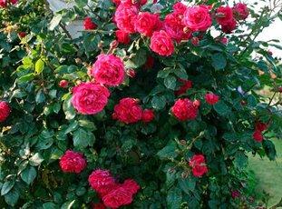 Плетистая роза «Лагуна»