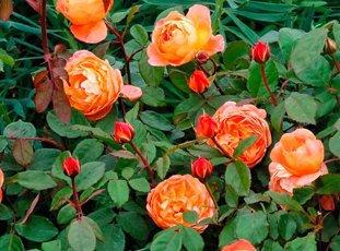 Роза «Леди Эмма Гамильтон»: описание сорта, фото и отзывы