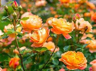 Роза «Леди оф Шалот»: описание сорта, фото и отзывы