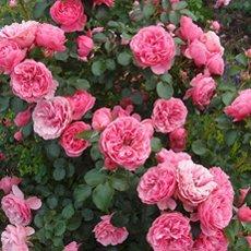 Роза «Леонардо да Винчи»: описание сорта, фото и отзывы