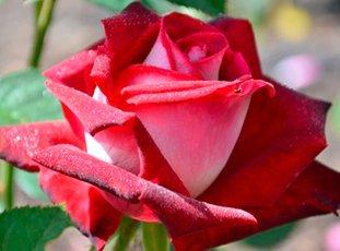 Роза «Люксор»: описание сорта, фото и отзывы