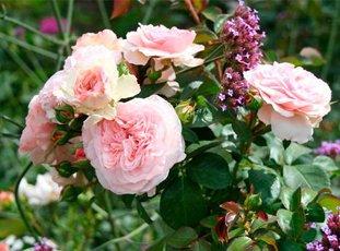 Роза «Мария Терезия»: описание сорта, фото и отзывы