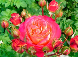 Роза «Мидсаммер»: описание сорта, фото и отзывы