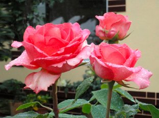 Роза «Мондиаль»: описание сорта, фото и отзывы