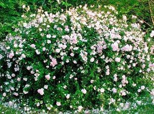 Плетистая роза «Нью Даун»: описание сорта, фото и отзывы