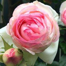 Роза «Пьер де Ронсар»: описание сорта, фото и отзывы