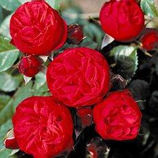 Роза «Пиано»: описание сорта, фото и отзывы