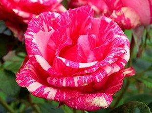 Роза «Пинк Интуишн» описание сорта, фото и отзывы