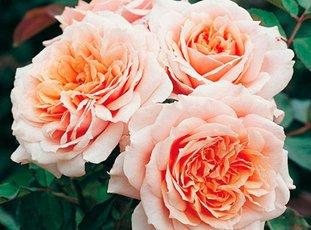 Роза «Поль Бокюз»: описание сорта, фото и отзывы