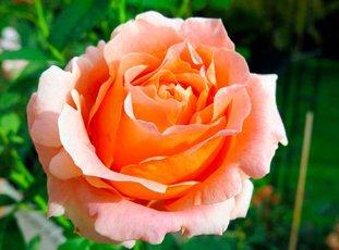 Плетистая роза «Полька»: описание сорта, фото и отзывы