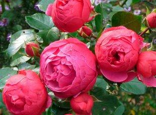 Роза «Помпонелла»: описание сорта, фото и отзывы