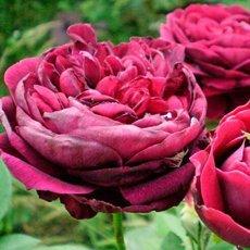 Роза «Принц»: описание, фото и отзывы