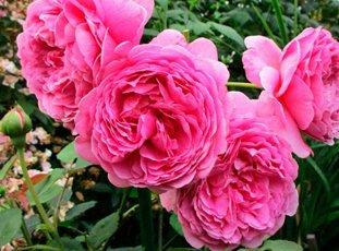 Роза «Принцесса Александра оф Кент»: описание сорта, фото и отзывы