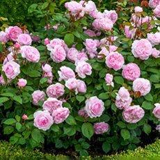 Роза-шраб