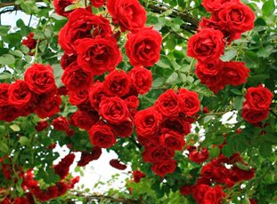 Роза «Симпатия»: описание сорта, фото и отзывы