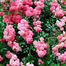 Роза «Супер Дороти»: описание сорта, фото и отзывы