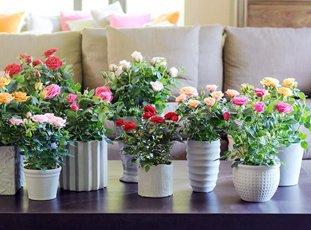 Роза в горшке: уход в домашних условиях