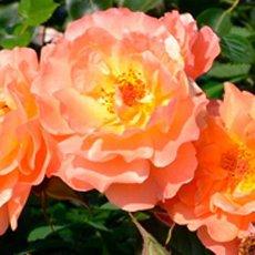 Роза «Вестерленд»: описание сорта, фото и отзывы