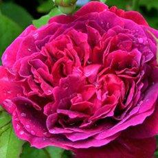 Роза «Вильям Шекспир»: описание сорта, фото и отзывы