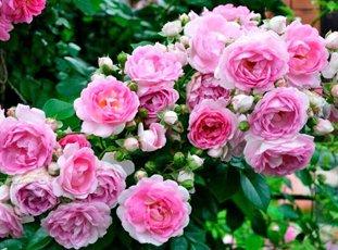 Плетистая роза «Жасмина»: описание сорта, фото и отзывы