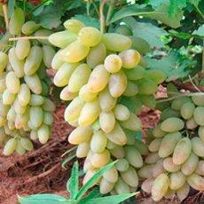 Сорта белого винограда