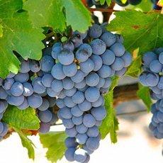 Виноград «Изабелла»: описание сорта, фото и отзывы