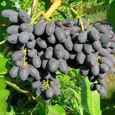Виноград «Кодрянка»: описание сорта, фото и отзывы
