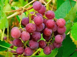 Виноград «Лидия»: описание сорта, фото и отзывы