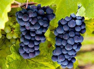 Виноград «Молдова»: описание сорта, фото и отзывы