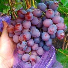 Виноград «Низина»: описание сорта, фото и отзывы