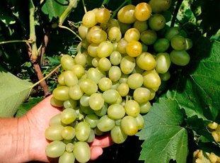 Виноград «Супер-экстра»: описание сорта, фото и отзывы