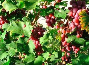 Виноград «Виктория»: описание сорта, фото и отзывы