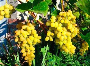Виноград «Восторг»: описание сорта, фото и отзывы