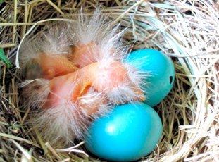 Куры, несущие голубые яйца